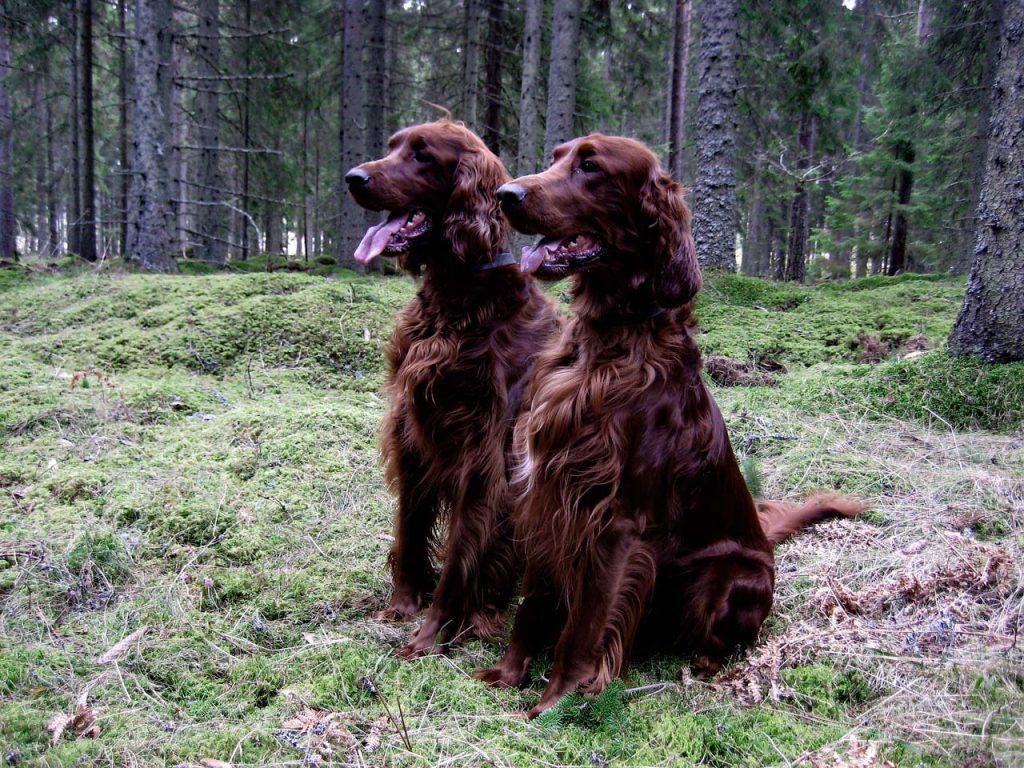 Irsk setter i skoven
