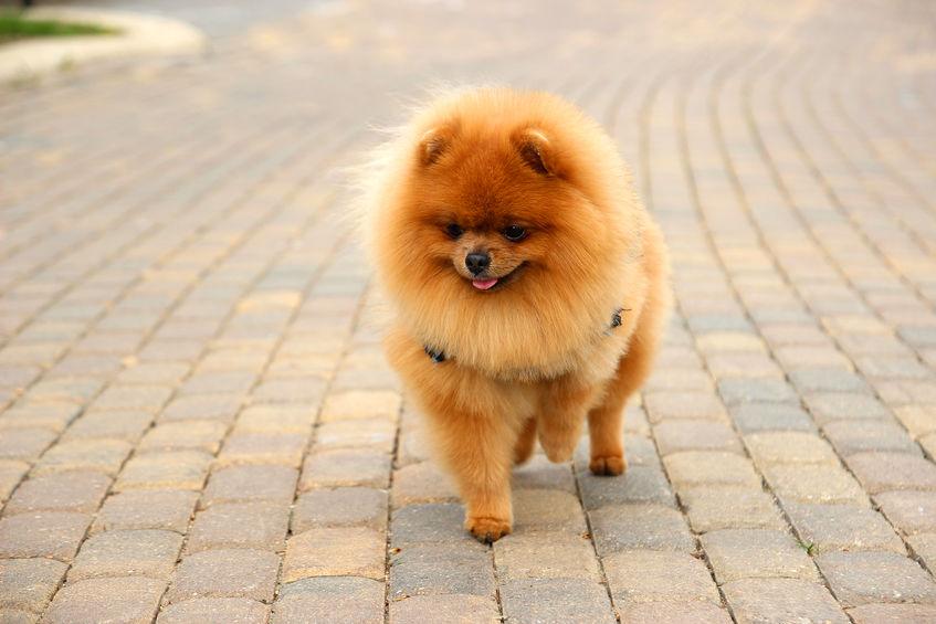 Pomeranian hund