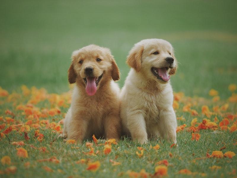 To søde hunde